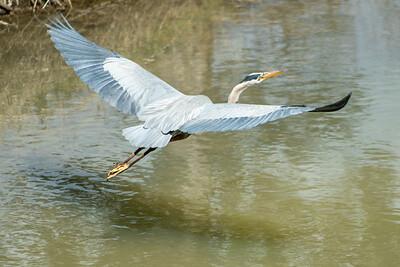Blue Heron May 2020_008