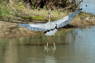 Blue Heron May 2020_019