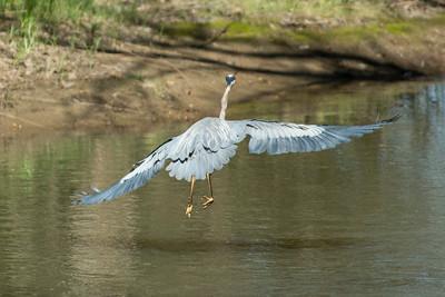 Blue Heron May 2020_018