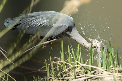 Blue Heron May 2020_004