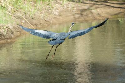 Blue Heron May 2020_016