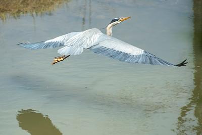 Blue Heron May 2020_009