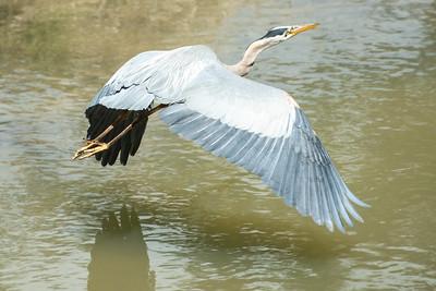 Blue Heron May 2020_007