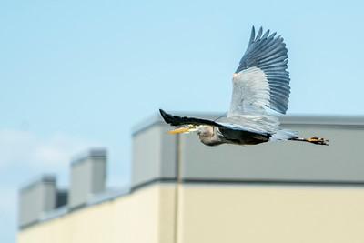 Blue Heron May 2020_020