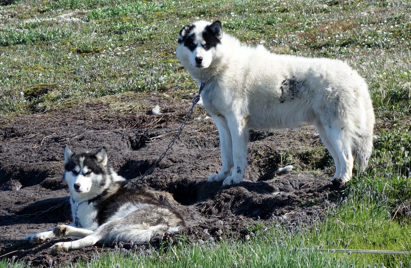 Local Dog Sled Teams Were in Many Locations