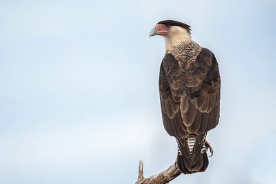 Crested Caracara Martin Refuge.  Edinburg, TX