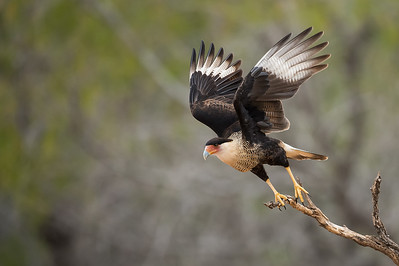 Crested Caracara Takeoff Sequence 1 Laguna Seca Ranch.  Edinburg, TX