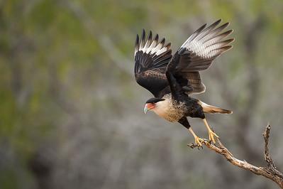 Crested Caracara Takeoff Sequence 1 Laguna Seca Ranch.  Edinburg, TX