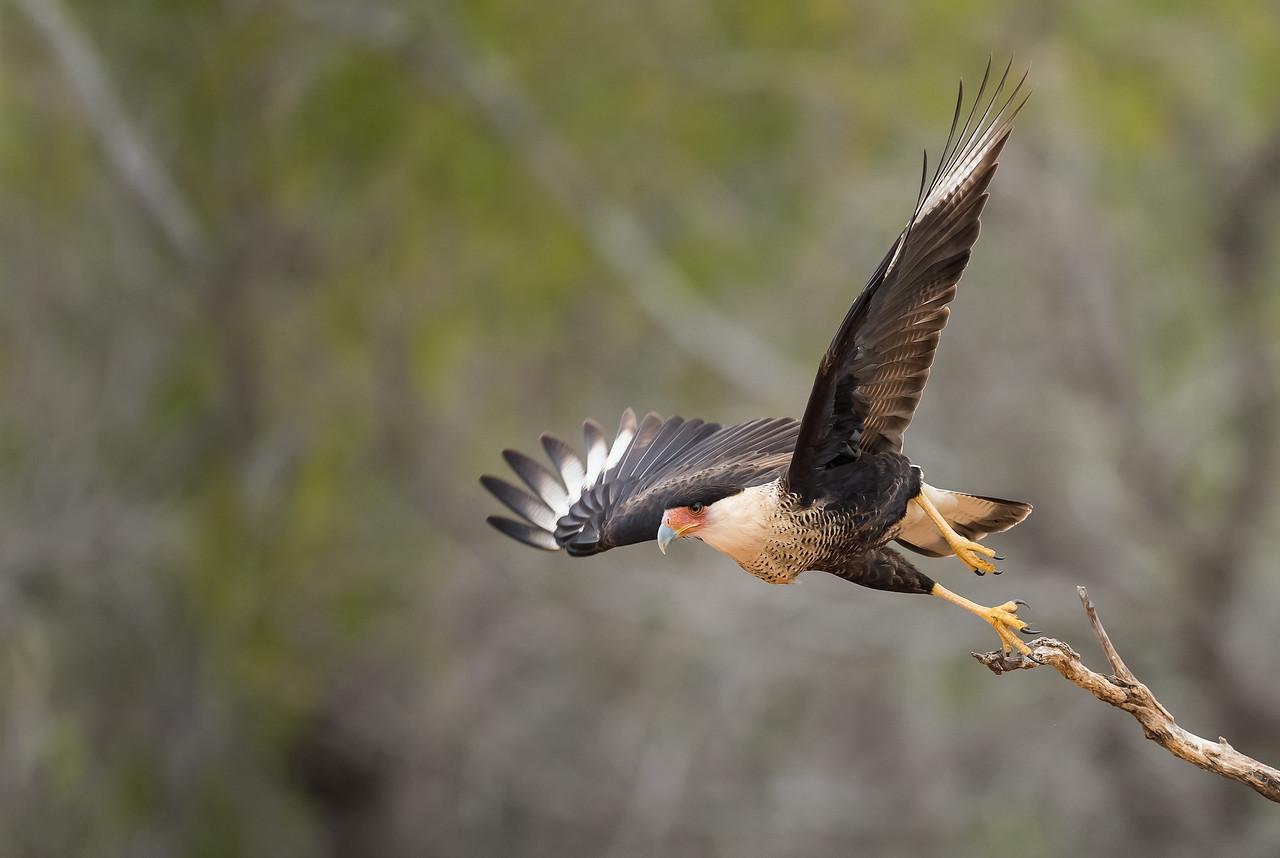 Crested Caracara Takeoff Sequence 2 Laguna Seca Ranch.  Edinburg, TX
