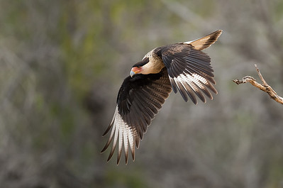 Crested Caracara Takeoff Sequence 3 Laguna Seca Ranch.  Edinburg, TX