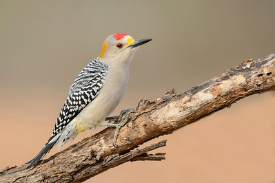 Golden-fronted Woodpecker Laguna Seca.  Edinburg, TX