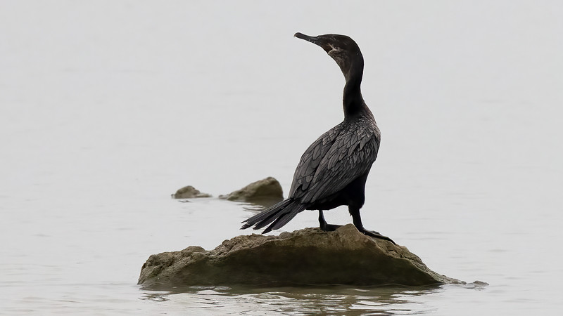 Neotropic Cormorant @ Tiocano Lake