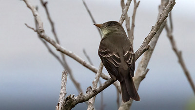 Acadian Flycatcher @ South Padre Is. Valley Land Fund Lots