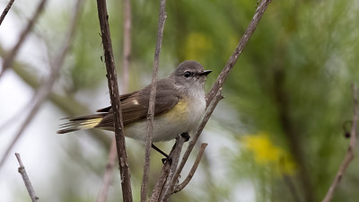 American Redstart @ South Padre Is. Valley Land Fund Lots