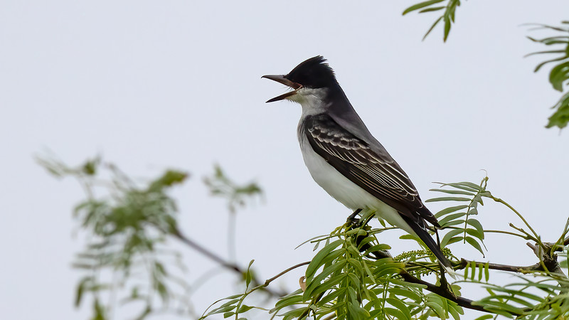 Eastern Kingbird @ South Padre Is. Valley Land Fund Lots