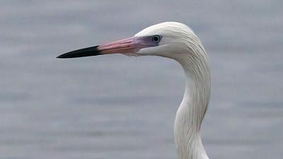 Reddish Egret @ Shrimp Basin Bridge