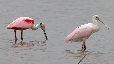 Roseate Spoonbills @ Tiocano Lake