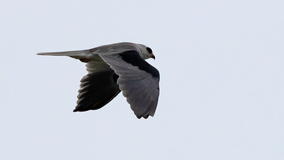 White-tailed Kite @ Tiocano Lake