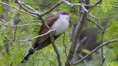 Yellow-billed Cuckoo @ South Padre Is. Valley Land Fund Lots