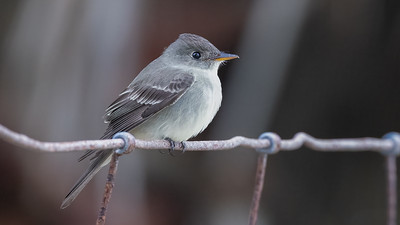 Eastern Wood-Pewee @ South Padre Is.   Valley Land Fund Lots