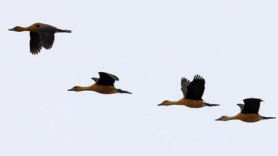 Fulvous Whistling-Ducks @ Tiocano Lake