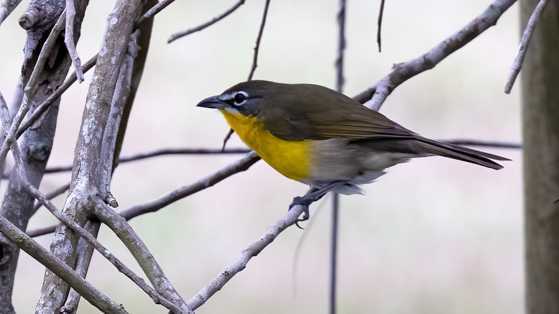 Yellow-breasted Chat @ South Padre Is. Valley Land Fund Lots