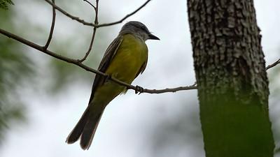 Couch's Kingbird @ Sabal Palm Sanctuary