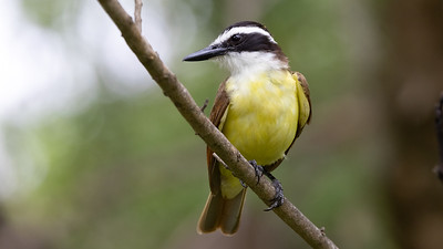 Great Kiskadee @ South Padre Is. Valley Land Fund Lots