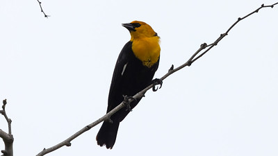 Yellow-headed Blackbird @ South Padre Is. Valley Land Fund Lots