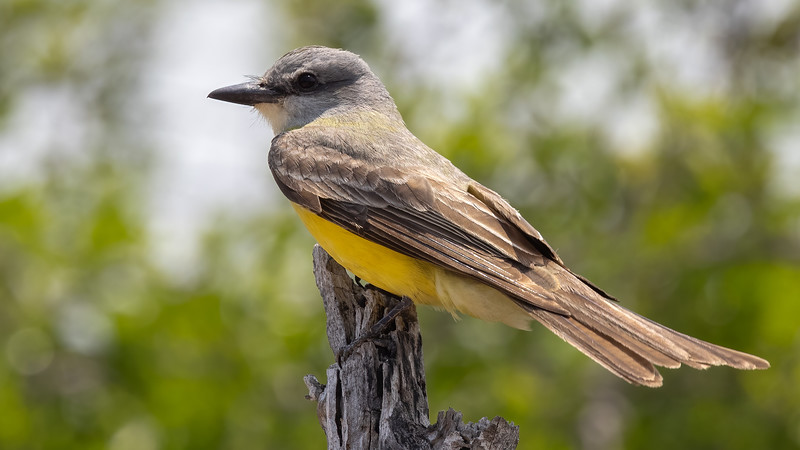 Couch's Kingbird @ Laguna Vista Nature Trail