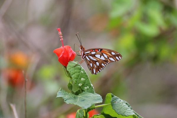 Butterflies of the Rio Grande Valley
