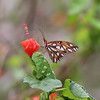 Gulf Fritillary on Turks Cap