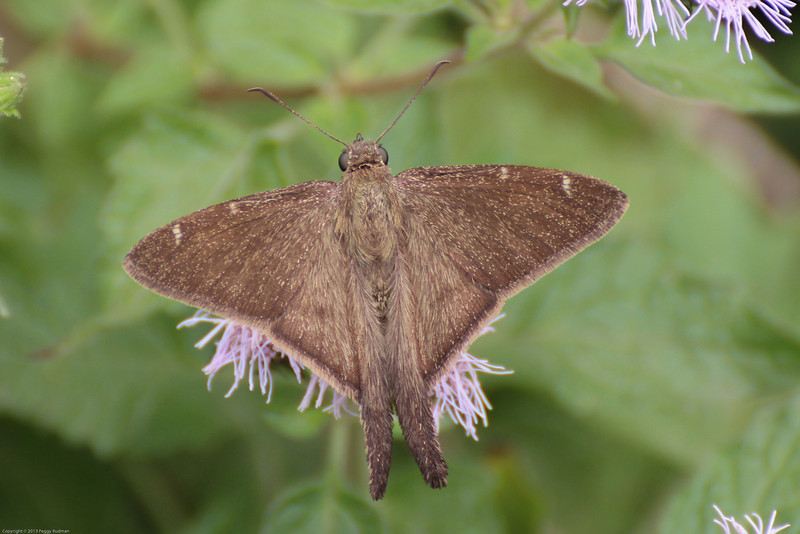 Brown Longtail