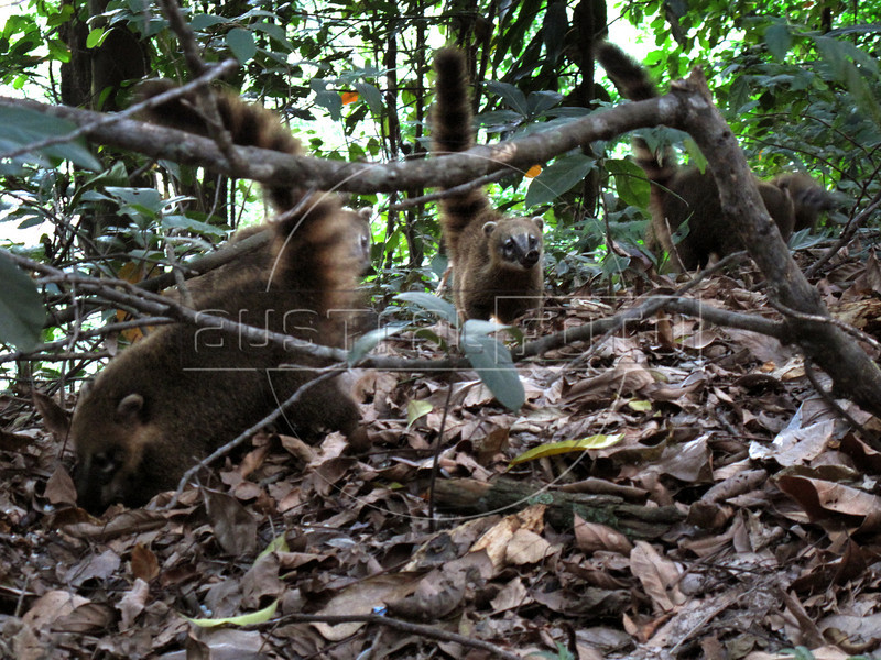 A group of coatis in the Tijuca Forest National Park in Rio de Janeiro. The park, a forested mountain surrounded by an intensely populated urban area, is a model of preservation of the Brazil's Atlantic Forest ecosystem, of which only 7% remains. It is allegedly the largest urban forest in the world, and declared a National Park in 1961.  Formerly a coffee planting area and Rio's water source, Brazilian Emperor Dom Pedro II had the area completely reforested in the 1860s as the city's water supply began to dwindle. It is home to hundreds of species of plants and wildlife, many threatened by extinction (Australfoto/Douglas Engle)  (Australfoto/Douglas Engle)