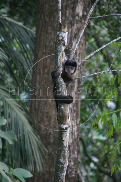 A black capuchin (Cebus nigritus) in the Tijuca National Park in Rio de Janeiro, Brazil. Also known as the black-horned capuchin, it is native to the Atlantic Forest of in south-eastern Brazil and far north-eastern Argentina. (Australfoto/Douglas Engle)