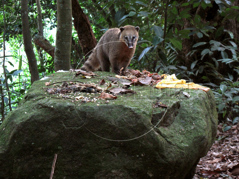 A Coati in the Tijuca Forest National Park in Rio de Janeiro. The park, a forested mountain surrounded by an intensely populated urban area, is a model of preservation of the Brazil's Atlantic Forest ecosystem, of which only 7% remains. It is allegedly the largest urban forest in the world, and declared a National Park in 1961.  Formerly a coffee planting area and Rio's water source, Brazilian Emperor Dom Pedro II had the area completely reforested in the 1860s as the city's water supply began to dwindle. It is home to hundreds of species of plants and wildlife, many threatened by extinction (Australfoto/Douglas Engle)  (Australfoto/Douglas Engle)