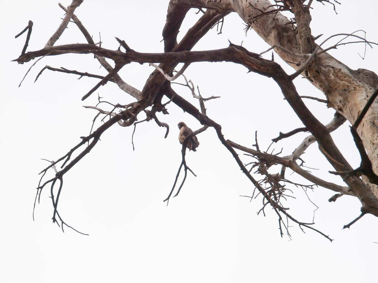 Normally a hawk would fly away if we walked underneath his branch, but maybe this guy's wings were wet.  Also, he seems to be looking at us with contempt.  I imagine we didn't seem threatening.