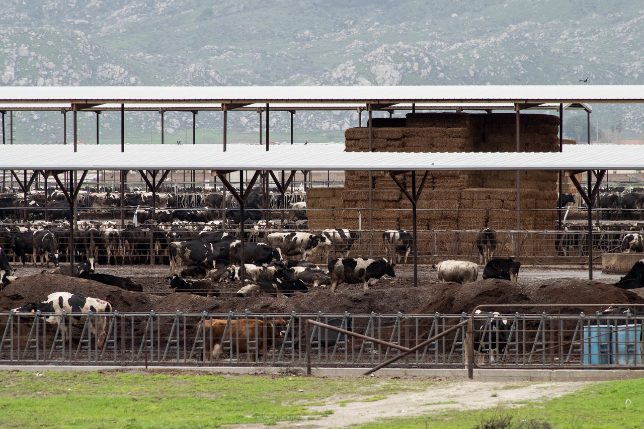 I brought a long (55-300mm) lens to check on the trolls (saw their stuff but not them) and the cows.