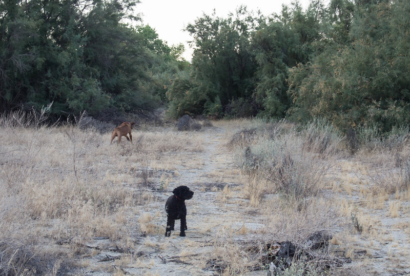 "I saw the coyote, said ""coyote"" and pointed.  Ben is the only one who reacted as you can see.  Jessica to my left (but not in picture) watched but didn't react.  Ben returned after the coyote went into the brush.  I could see it in there as we walked by but none of the dogs were interested."