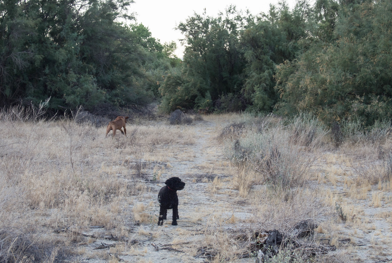 """I saw the coyote, said """"coyote"""" and pointed.  Ben is the only one who reacted as you can see.  Jessica to my left (but not in picture) watched but didn't react.  Ben returned after the coyote went into the brush.  I could see it in there as we walked by but none of the dogs were interested."""