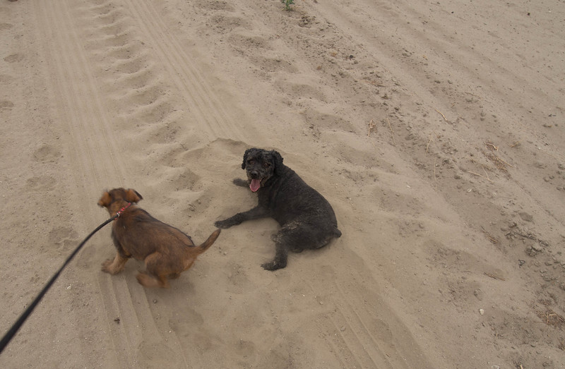 Duffy after having rolled in the sand.  Jessica tried that a couple of times as well but not as thoroughly as Duffy.