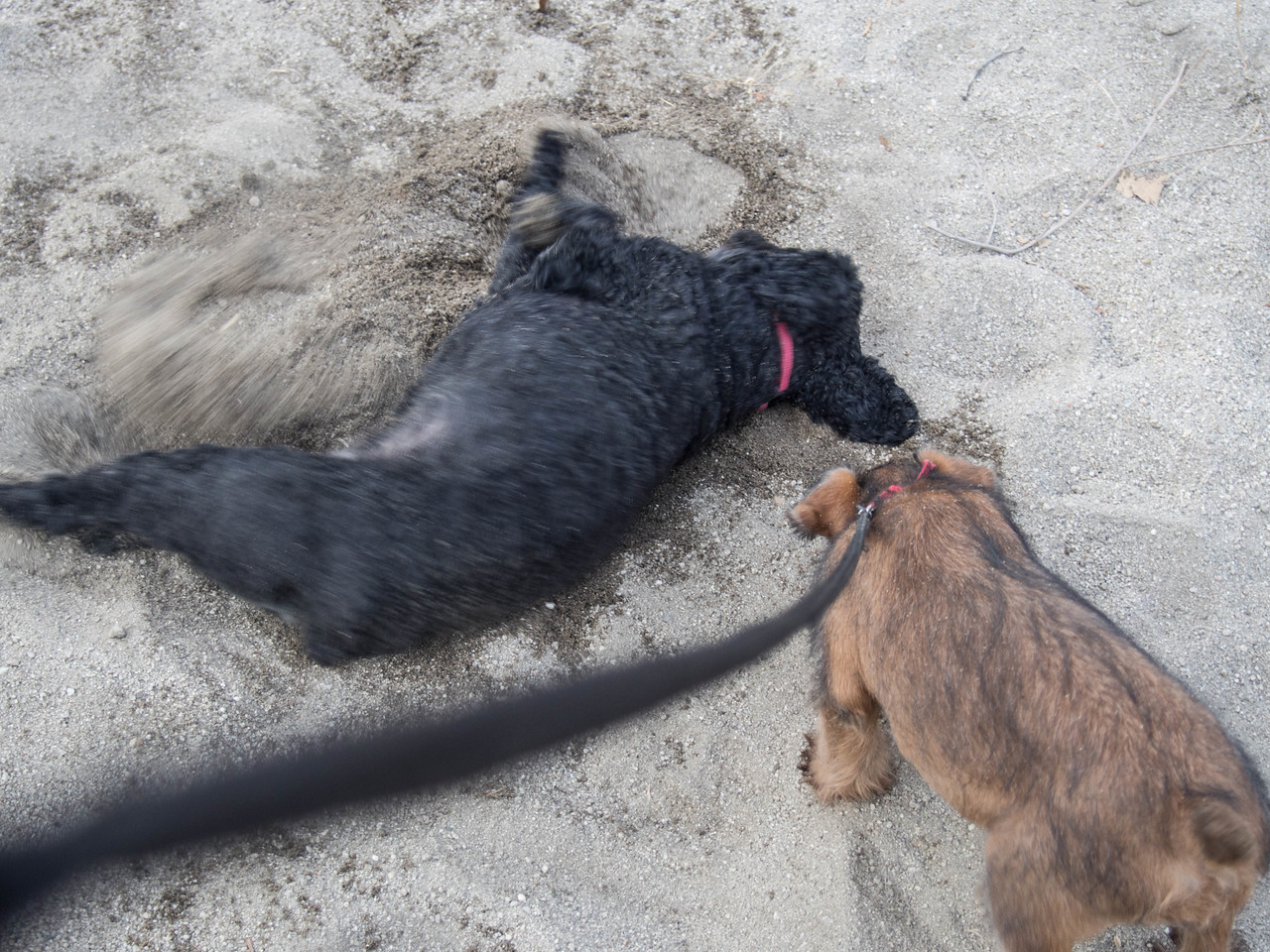 Duffy digging one of her typical holes in the sand.  Jessica is interested.