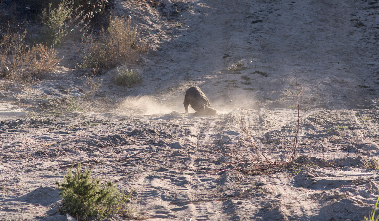Don't know why, but Duffy likes to start each hike with a nice dust bath.