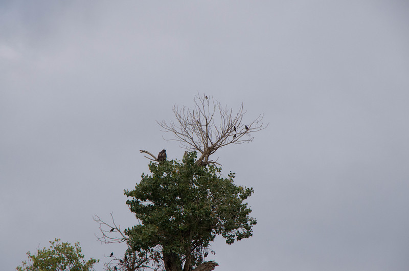 It looks as though there is a cat sitting near the hawk, but after looking at it for a long time with a magnifying glass I guess it is the broken top of a branch.