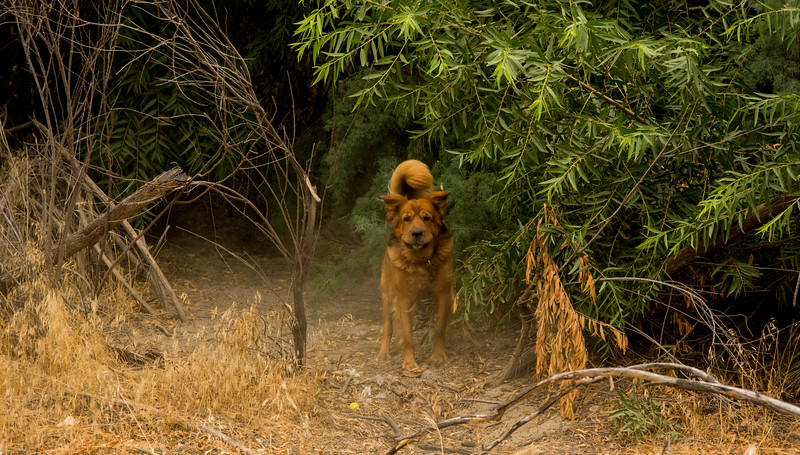 This dog is mean looking, but we've encountered him off leash before and he is good-natured.   Here he is tied up in front of a Troll's camp; so he does his job and barks at us.