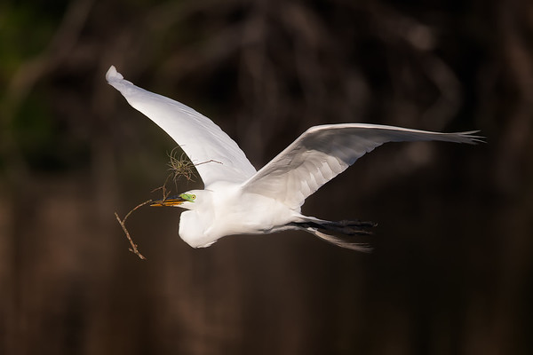 Great egret flying back to nest with nesting material in it's beak.