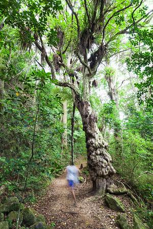 Puriri tree and regenerating bush, Kerikeri River Track