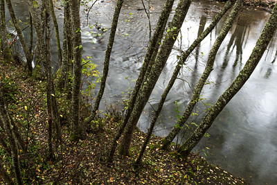 Young Alder Trees, Morse Creek near Port Angeles, WA