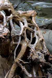 Root Wad, Upper Dungeness River, Olympic National Forest, WA
