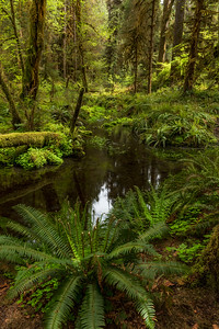 Spring, Hoh Rain Forest, Olympic National Park, Washington